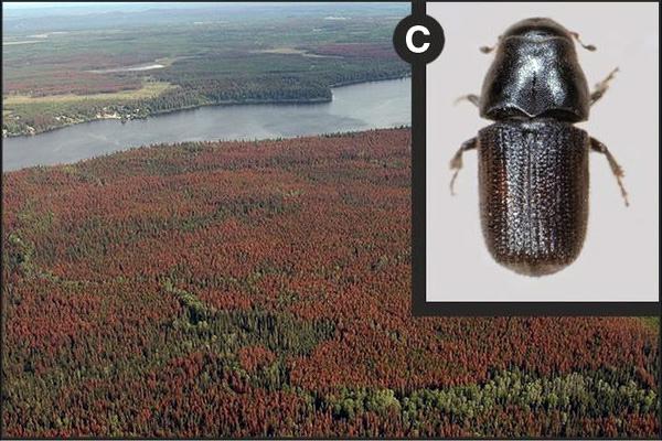 Пятна мертвых деревьев взападной Канаде, погибших из-за нашествия лубоедов Dendroctonus ponderosae. Эпидемии, вызванные занесенными нановые территории паразитами,— это одна из трех основных причин гибели лесов. Фото из обсуждаемой статьи I. L. Boyd et al. вScience.