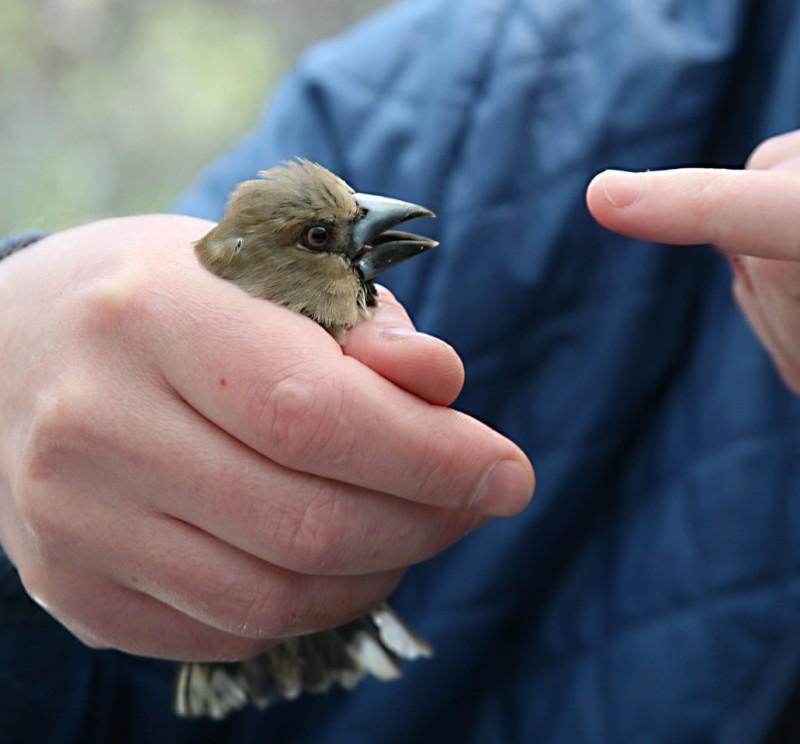 Дубонос (Coccothraustes coccothraustes) из Чернобыльской зоны приспособился квоздействию ионизирующего излучения