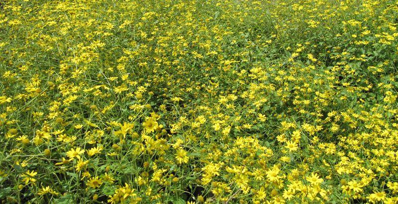 Учёные отобрали растения, которые подходят для работы— это тефрозерис (крестовник полевой) иряд водных растений.
