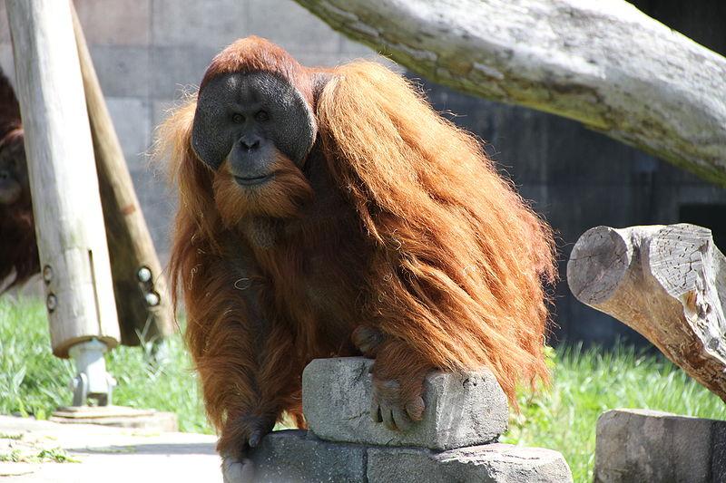 Самец суматранского орангутана.
