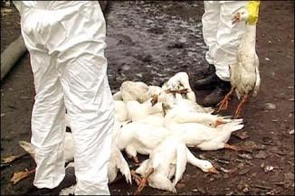 Птичий грипп в2005 году вызвал вРоссии массовый падёж домашней птицы (фото ИТАР-ТАСС).