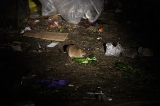 В Московских дворах сегодня, особенно возле мусорных контейнеров, крысы бегают, почти неопасаясь прохожих (фото invisibleon.ru).