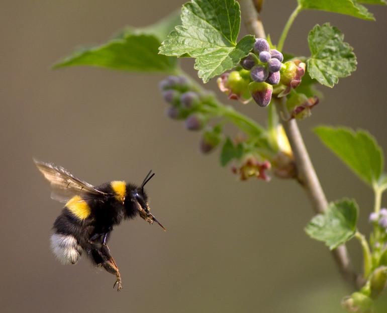 Фипронил иимидаклоприд оказывают негативное воздействие намитохондриальную биоэнергетику головы игруди пчёл.