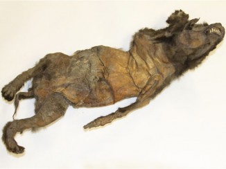 Древняя собака, найденная вСибири.