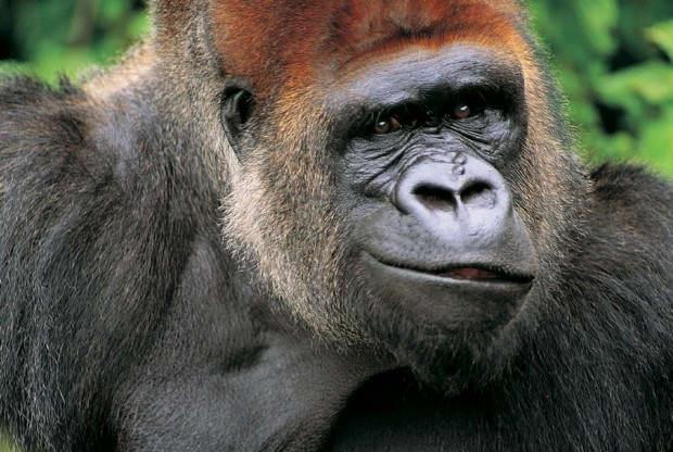 ДНК человека ишимпанзе имеют около 99% сходства, человека игориллы— 98%, ачеловека иорангутана— 97%.