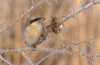 Сорокопут накалывает добычу нашип. Источник фото: http://sydkab.com/2014/05/30/angry-birds-part-2-sinister-songbirds/