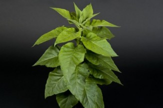 Табак сускоренным процессом фотосинтеза