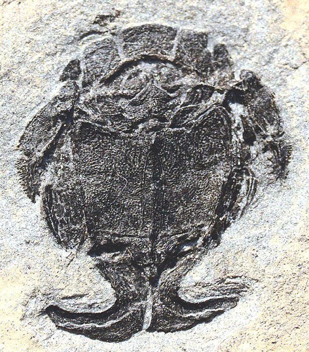 Microbrachius dicki— вид древних панцирных рыб.