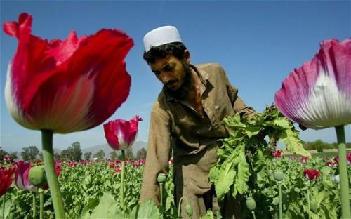Опийный мак вПакистане— нетолько сырьё для производства наркотиков, но илекарственное растение.