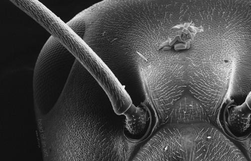 «Амур иПсихея» наголове муравья