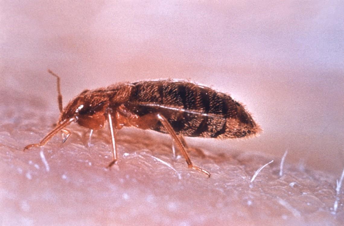 Постельный клоп (Cimex lectularius).