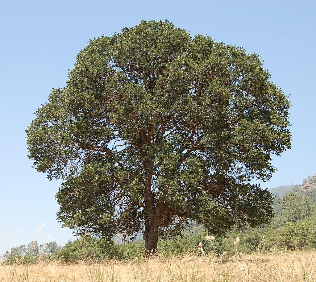 Quercus douglasii.