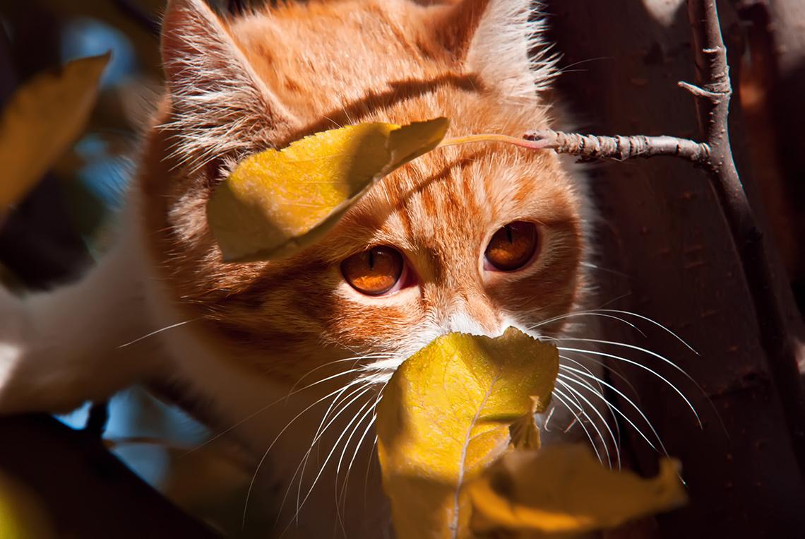 Рыжий кот ижёлтые листья