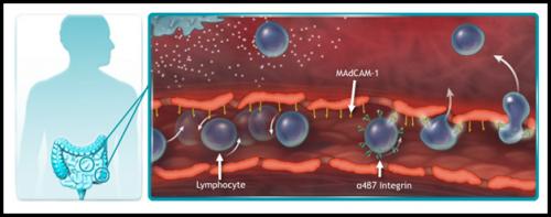 Лимфоциты выходят из кровеносного сосуда спомощью интегринов ивызывают воспаление вкишечнике. Антитело блокирует интегрин, снимая воспаление.