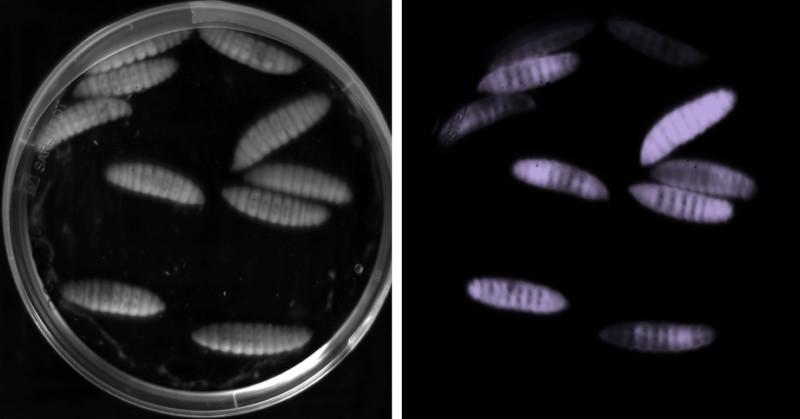 Эти личинки насекомых заражены <i>P. asymbiotica</i>. Поскольку эти бактерии биолюминесцентны, личинки светятся втемноте.