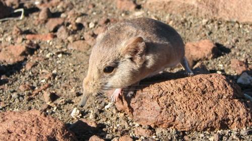 Macroscelides micus.