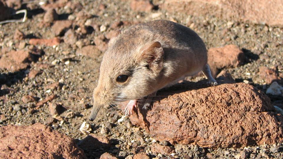 Короткоухий прыгунчик вида <i>Macroscelides micus</i>.
