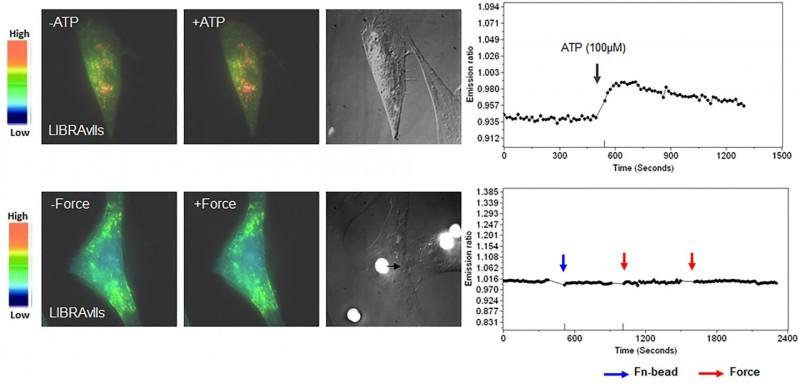 Ионы кальция высвобождаются из внутриклеточной структуры, которая называется эндоплазматическим ретикулумом (ЭР). Приложение силы (воздействие шарика) создаёт физические ионные каналы (отмечено красным) ивключает механизм биохимической сигнализации (отмечено зелёным цветом ниже).