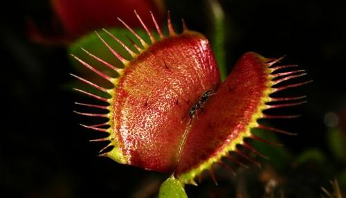 Лист венериной мухоловки.