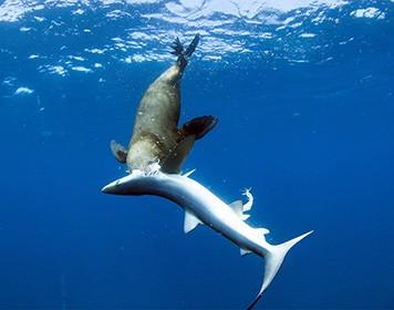Тюленей заметили за пожиранием акул