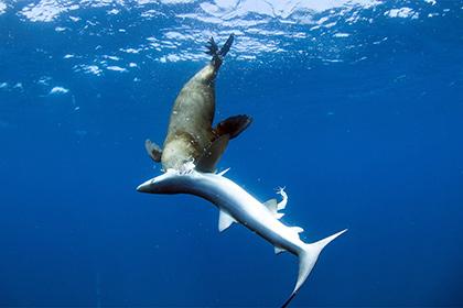 Тюленей уличили впоедании акул