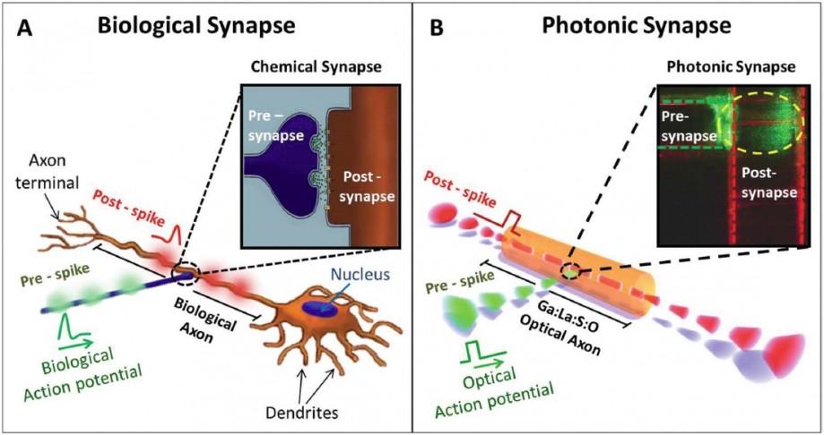Биологический иоптический аксон исинапс