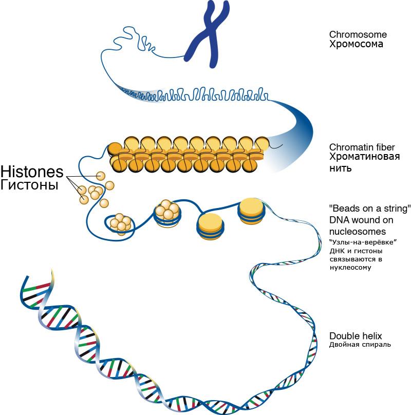 """Гистоны обеспечивают структурную поддержку  хромосомы. Для того чтобы очень длинные молекулы <abbr lang=""""ru"""" title=""""Дезоксирибонуклеиновая кислота"""">ДНК</abbr> помещались вклеточном ядре, они должны быть """"намотаны"""" нагистоновый комплекс, так хромосома получает свою компактную форму."""