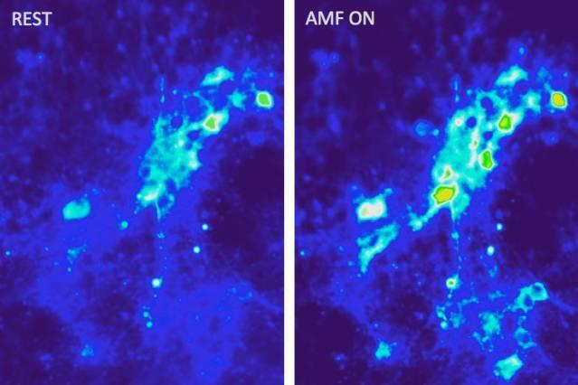 Приток ионов кальция внейронах врезультате возбуждения последних термомагнитным способом— спомощью переменных магнитных полей вприсутствии магнитных наночастиц