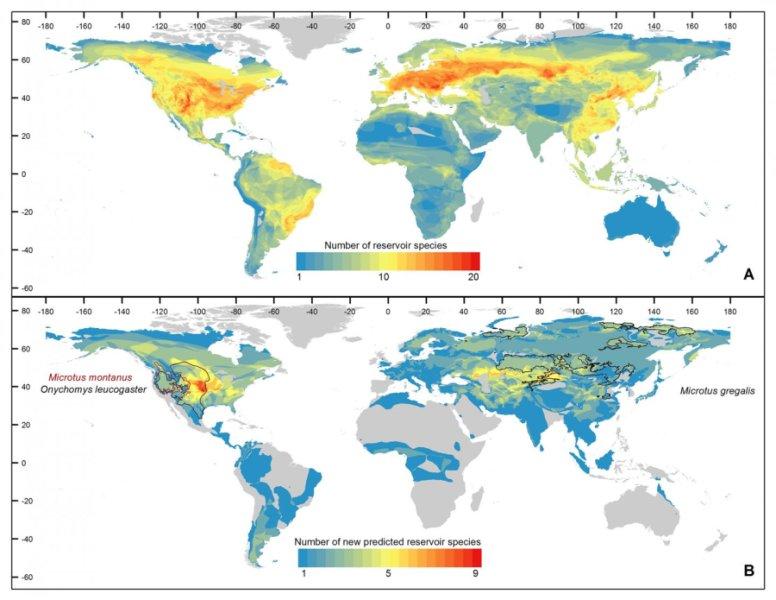 """Накарте отмечены """"горячие точки"""" разнообразия известных грызунов-носителей инфекций (часть A), 150 новых вероятных видов-носителей (часть B). Тёплые цвета— перекрывающиеся географические ареалы нескольких видов. Вчасти B также отмечены (чёрным итемно-бордовым) ареалы трёх видов, которые свысокой вероятностью (около 70 процентов) являются источником неоткрытых новых инфекций."""