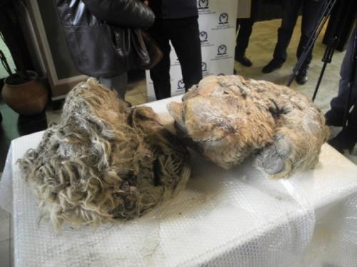 Находка Александра Бендерова иСемёна Иванова— туша детёныша шерстистого носорога