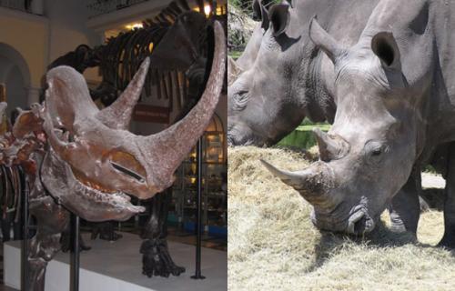 Рог шерстистого носорога ирог белого носорога (Ceratotherium simum)