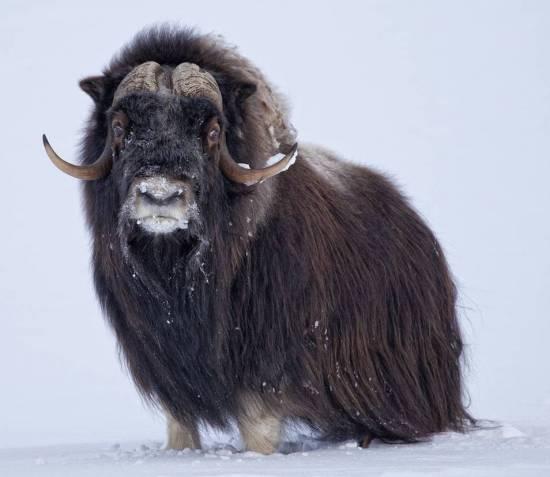 Овцебык, или мускусный бык (Ovibos moschatus)— современник мамонтов ишерстистых носорогов. Овцебыки исеверные олени— единственные копытные Арктики, пережившие поздний плейстоцен. Учёные пытаются нетолько восстановить (весьма успешно) популяцию овцебыка вестественном ареале обитания, но иодомашнить его. В60-х при Университете Аляски для этого создали экспериментальную ферму. Она по сей день работает, продаёт изделия из меха ипуха (гивиота) овцебыков, проводит экскурсии иорганизует выставки