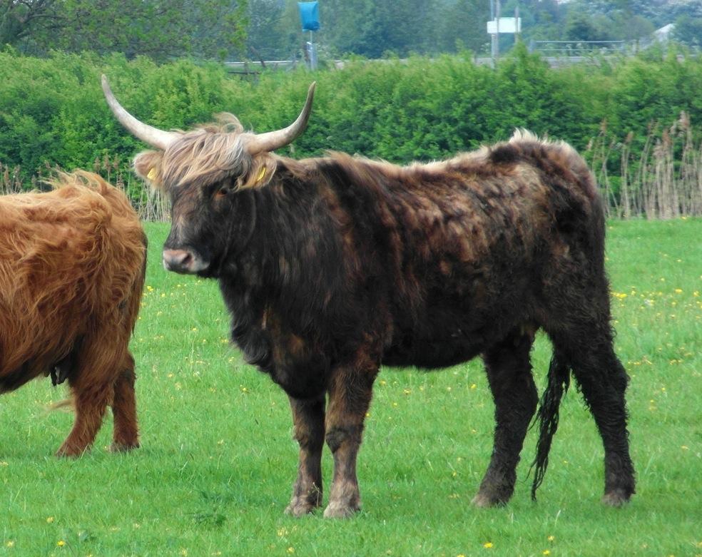 Корова из первого поколения TaurOs Project— результат скрещивания пород мареммана ихайленд.
