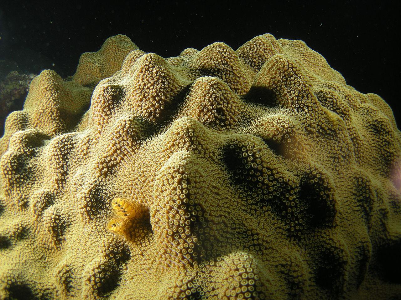 Для вида <i>Montastraea faveolata</i> вынужденный симбиоз с<i>S. trenchii</i> означает замедление кальцификации вдва раза.
