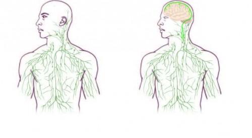 Старое иновое представление олимфатической системе человека.