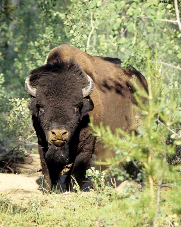 Канадский лесной бизон— этим животным российские учёные думают заменить вплейстоценовом паркезубра, если тот неприживётся вЯкутии