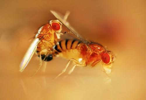 Спаривающиеся плодовые мушки