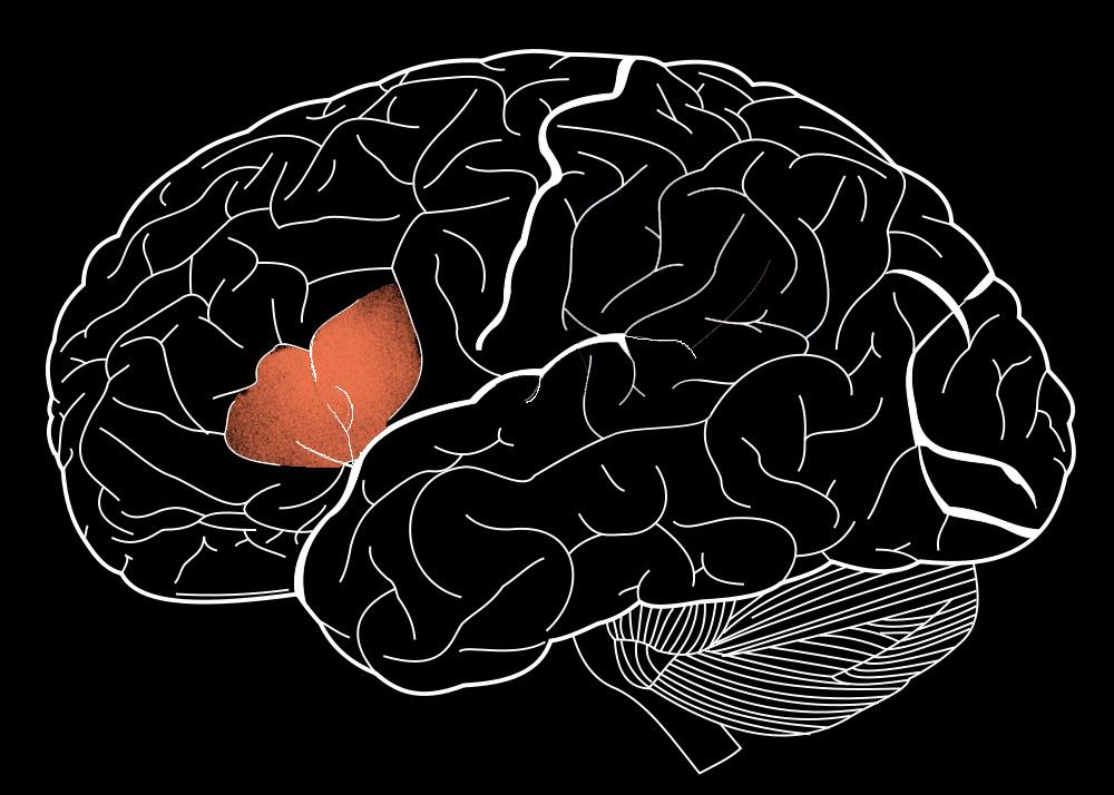 Нижняя лобная извилина принадлежит той зоне коры головного мозга, которая учеловека существенно больше, чем уобезьян. Вней же находится зона Брока, отвечающая за работу сязыком. Вполне возможно, что одни ите же участки регулируют понимание языка ивосприятие музыки— обе эти способности связаны собобщением ианализом информации.