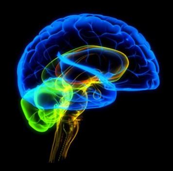 Учёные нашли зону мозга, отвечающую за уникальность человеческого разума