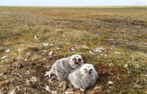 Птенцы белой совы