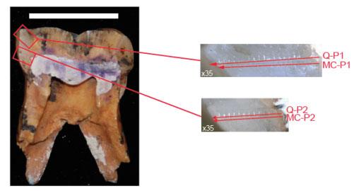 Зуб Paranthropus robustus (распиленный вертикально).