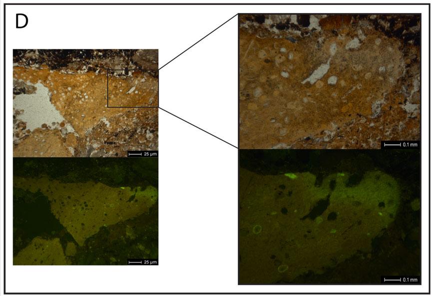 Микрофотография копролита из Эль-Салте вплоско поляризованном свете (вверху). Образец бледно-коричневого цвета, характерной для копролита структуры. Видны включения, вероятно яйца паразитов или споры. Внизу: образец, освещённый синим светом, флюоресцирует. Источник: Ainara Sistiaga et al, 2014.