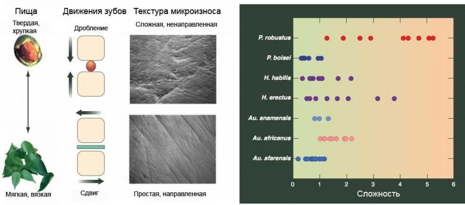 Текстуры микроизноса зубной эмали уразных видов ископаемых гоминидов.