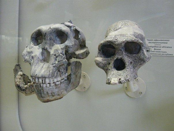 Слева— череп Paranthropus boisei (OH 5, «Щелкунчик»), справа— для сравнения, череп Australopithecus africanus (Sts 5). Палеонтологический музей, Москва. Фото: А.Соколов