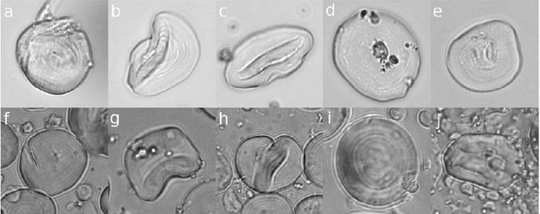 Гранулы крахмала из Шанидар 3, всравнении сварёными гранулами крахмала современных ячменя ипшеницы.