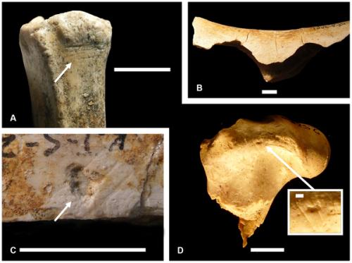 Костные фрагменты из Канжеры Южной (Кения, 2млн. л.н.), со следами каменных орудий. Источник: Joseph V. Ferraro et al. Earliest Archaeological Evidence of Persistent Hominin Carnivory // PLoS ONE April 25, 2013