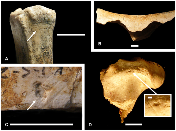 Костные фрагменты из Канжеры Южной (Кения, 2млн лет назад), со следами каменных орудий. Источник: Joseph V. Ferraro et al. Earliest Archaeological Evidence of Persistent Hominin Carnivory // PLoS ONE April 25, 2013.