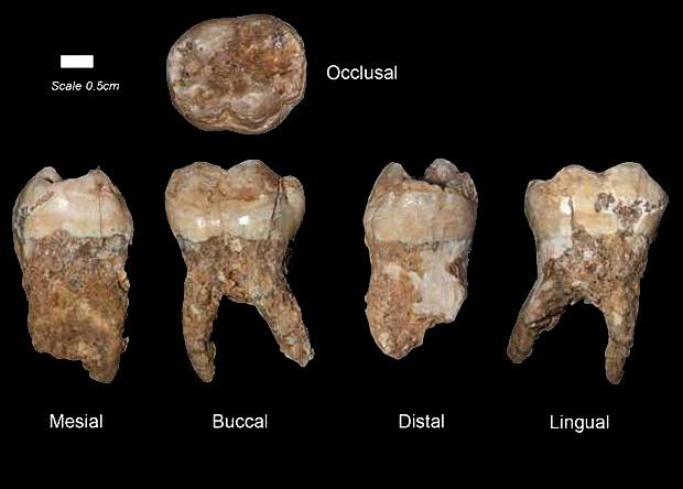 Зуб из пещеры Кесем. Источник: Israel Hershkovitz et al. (AJPhA).