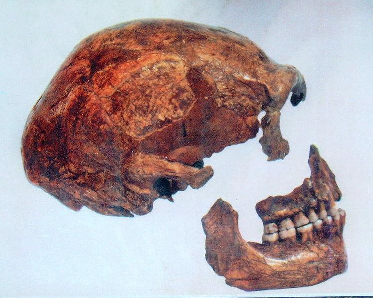 Череп неандертальца Спи 1.  Фото: We El. Источник: http://commons.wikimedia.org/