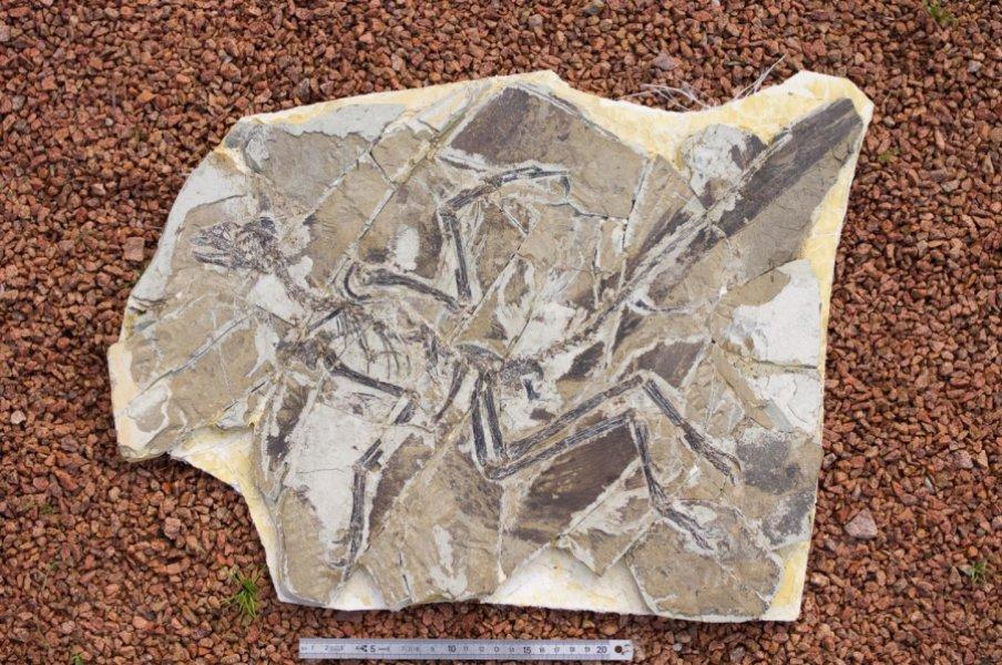 Окаменелость анхиорниса (<i>Anchiornis huxleyi</i>).
